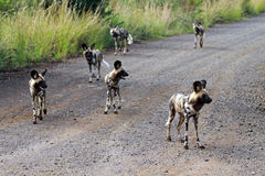 African wild dogs. Pilanesberg National Park, South Africa Stock Images