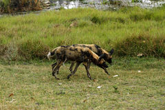 African Wild Dogs Alert for Action. African wild dogs looking alert on the plains Stock Photography