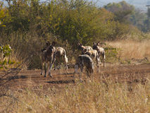African wild dogs. A brief pause during a hectic morning trying to keep up with a pack of African Wild Dogs on a hunt Royalty Free Stock Photo