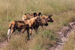 African wild dogs. In the Chobe Nationalpark in Botswana Royalty Free Stock Image