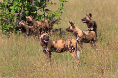African wild dogs. In the Chobe Nationalpark in Botswana Royalty Free Stock Photo