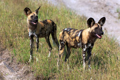 African wild dogs. In the Chobe Nationalpark in Botswana Stock Photo