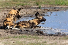 African wild dogs. In the Chobe Nationalpark in Botswana Royalty Free Stock Images