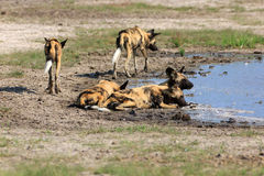 African wild dogs. In the Chobe Nationalpark in Botswana Royalty Free Stock Photography