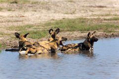 African wild dogs. In the Chobe Nationalpark in Botswana Stock Photos