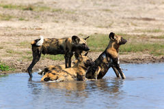 African wild dogs. In the Chobe Nationalpark in Botswana Stock Image