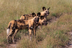 African wild dogs. African wild dog in the Chobe Nationalpark in Botswana Royalty Free Stock Photography