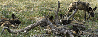 African Wild Dogs. The African wild dog is a critically endangered species Royalty Free Stock Photos