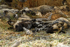 African Wild Dogs. The African wild dog is a critically endangered species Stock Photo