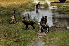 African Wild Dogs. African wild dog puppies trying to cross water on the plains Stock Image