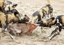 African wild dogs feeding. On an impala carcass and watching for other predators Stock Images