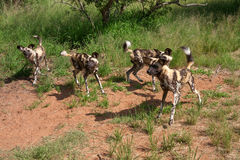 African wild dogs. Four African wild dogs in the wild in South Africa Royalty Free Stock Photos