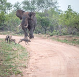 African wild dogs getting chased by an Elephant Royalty Free Stock Photo