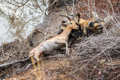 African wild dogs on a kill. A pack of African wild dogs take down a young male impala. Kruger National Park, South Africa Stock Photography