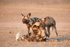 African Wild Dogs (Lycaon pictus) Stock Image