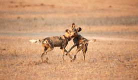 African Wild Dogs (Lycaon pictus) Stock Images