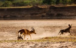Wild Dogs attacking a puku with dust flying and some motion blur in south Luangwa national Park. African Wild Dogs Lycaon pictus attacking a puku antelope on the Stock Photos