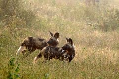 African wild dogs (Lycaon pictus) Royalty Free Stock Image