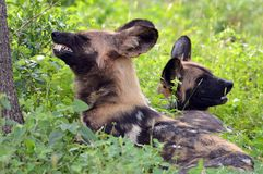 African wild dogs (Lycaon pictus) stock photography