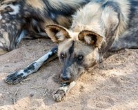 African Wild Dog 4 Royalty Free Stock Images