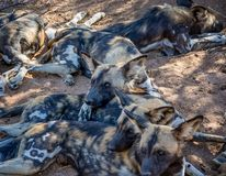 African Wild Dogs 9. African Wild Dogs in Namibian savanna Royalty Free Stock Photos