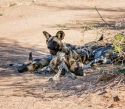African Wild Dogs 12. African Wild Dogs in Namibian savanna Stock Photography