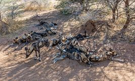 African Wild Dogs. In Namibian savanna Stock Photography