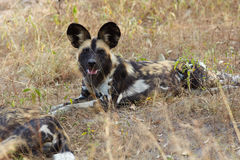 African Wild Dogs. The nearly extinct, highly endangered African Wild Dogs, Lycaon Pictus, resting in the african savannah, shallow Depth of Field Royalty Free Stock Photos