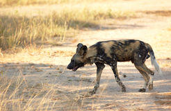 African Wild Dogs Stock Photo