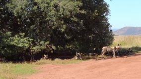 African Wild Dogs Pack. African Wild Dog Pack under a tree in an African Game Reserve in Southern Africa stock footage