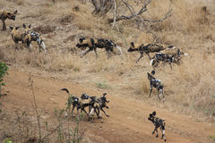 African wild dogs. Pack of African wild dogs at an Impala kill  in Gonarezhou - Zimbabwe Stock Photo