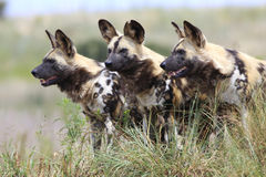 African wild dogs. Pack of african wild dogs looking for prey Royalty Free Stock Photo