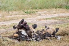 African wild dogs playing, part of a pack of rare African wild dogs, photographed at Sabi Sands Game Reserve, Kruger, South Africa. African wild dogs playing stock images