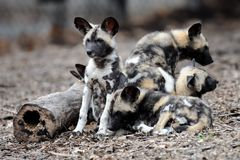 African wild dogs (pups) Royalty Free Stock Images