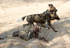 African wild dogs Stock Photography