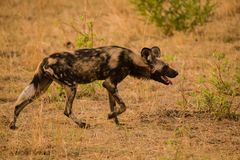 African wild dogs in the Savannah off in Zimbabwe, South Africa.  stock image