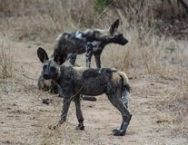 African wild dogs in the Savannah off in Zimbabwe, South Africa stock images