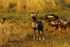 African wild dogs always share food Royalty Free Stock Images