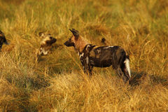 African wild dogs always share food Stock Photos
