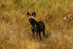 African wild dogs always share food Stock Photo