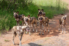 African wild dogs. Six African wild dogs in South Africa standing in a gravel road Royalty Free Stock Photo