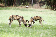 African wild dogs Royalty Free Stock Photos