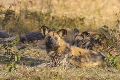 African wild dogs. Two African wild dogs Lycaon pictus resting, Botswana, Africa Stock Photography