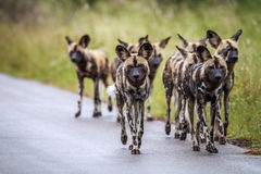 African wild dogs walking towards the camera. royalty free stock photo
