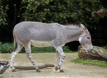 African Wild Donkey 12 Stock Images