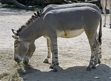 African Wild Donkey 3 Royalty Free Stock Photography