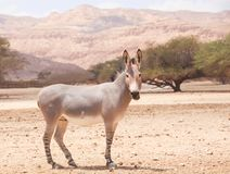 African wild donkey in the `Hay-Bar` Yotvata Nature Reserve. African wild or African wild donkey Equus africanus in the `Hay-Bar` Yotvata Nature Reserve for royalty free stock photography