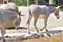 African wild donkey Stock Photography