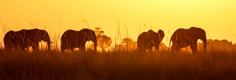 African wild elephant at sunset in Chobe. African wild Elephants in Botswana Chobe National Park during sunset Royalty Free Stock Photo