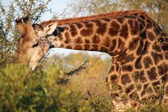 African Wild Giraffe. Close up of a wild giraffe munching on a short tree, showing off it's graceful long neck and beautiful skin pattern Stock Image